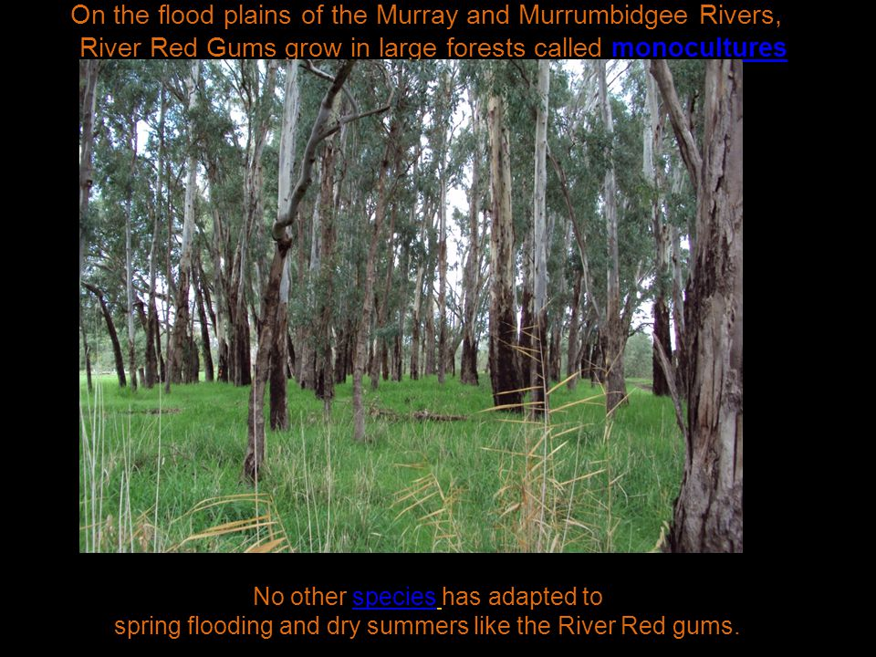 On the flood plains of the Murray and Murrumbidgee Rivers, River Red Gums grow in large forests called monocultures No other species has adapted to spring flooding and dry summers like the River Red gums.