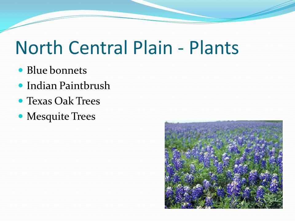North Central Plain - Plants Blue bonnets Indian Paintbrush Texas Oak Trees Mesquite Trees