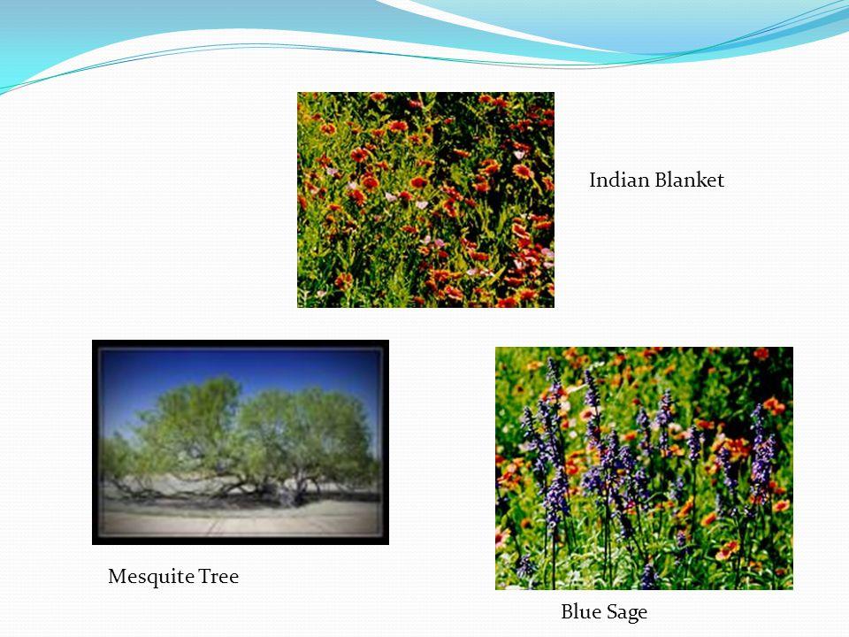 Indian Blanket Blue Sage Mesquite Tree