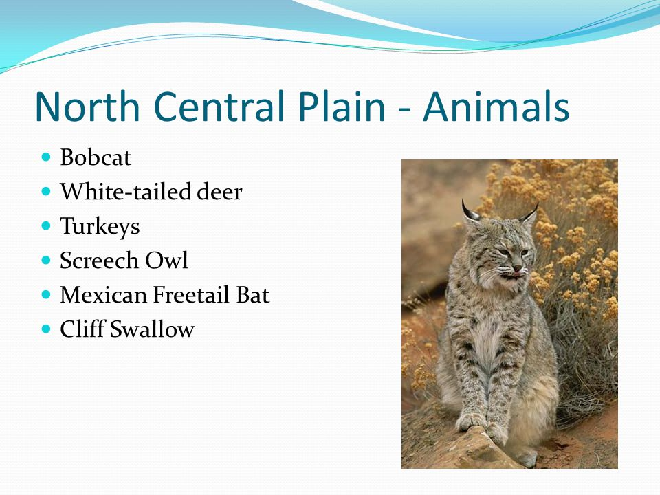 North Central Plain - Animals Bobcat White-tailed deer Turkeys Screech Owl Mexican Freetail Bat Cliff Swallow