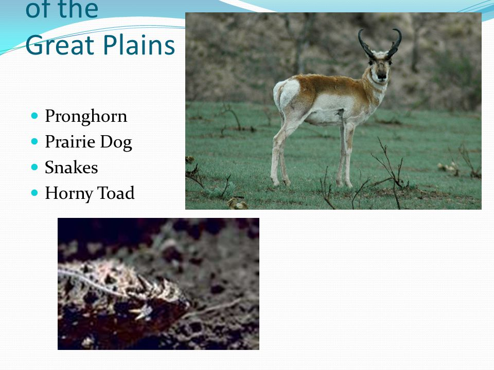 Animals of the Great Plains Pronghorn Prairie Dog Snakes Horny Toad