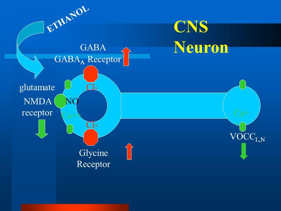 GABA A Receptor NMDA receptor Glycine Receptor ETHANOL VOCC L,N Ca+ + GABA glutamate CNS Neuron Cl- Ca++ NO