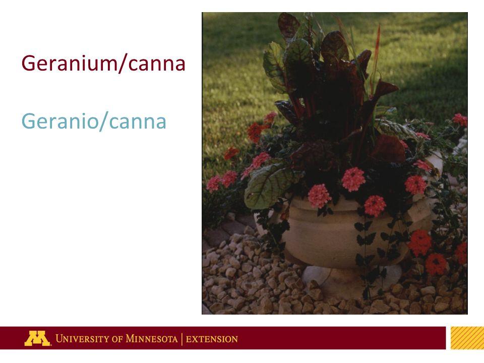 2 Geranium/canna Geranio/canna