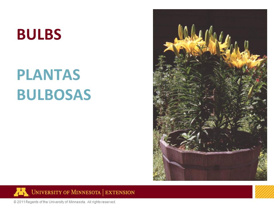 28 © 2011 Regents of the University of Minnesota. All rights reserved. BULBS PLANTAS BULBOSAS