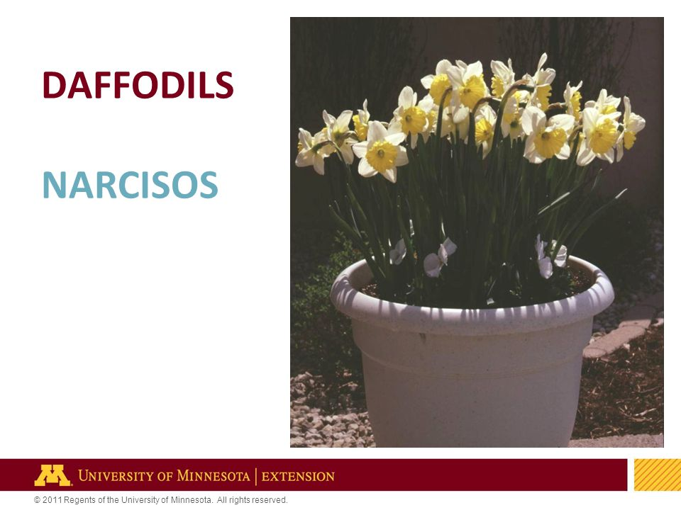 29 © 2011 Regents of the University of Minnesota. All rights reserved. DAFFODILS NARCISOS
