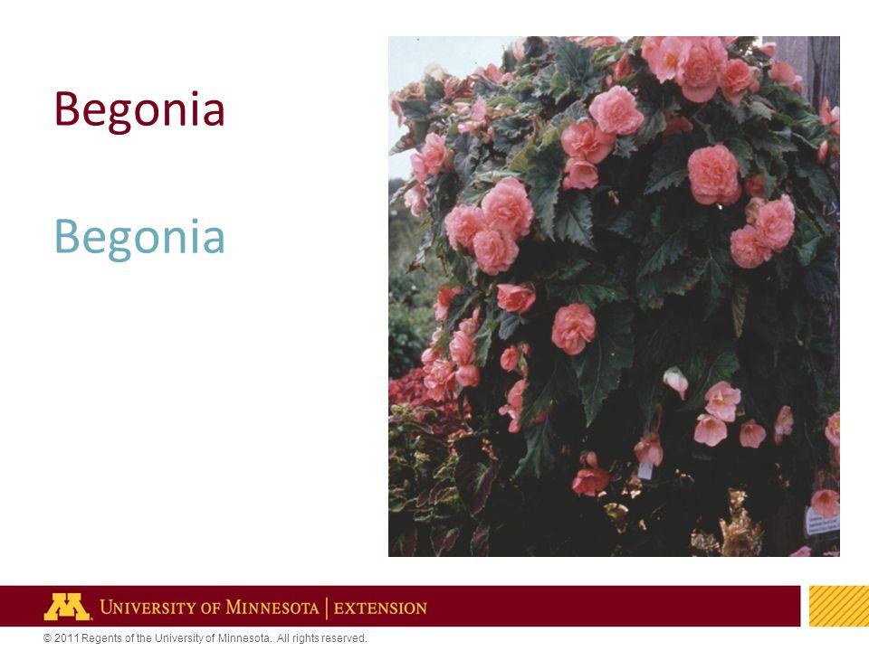 5 Begonia
