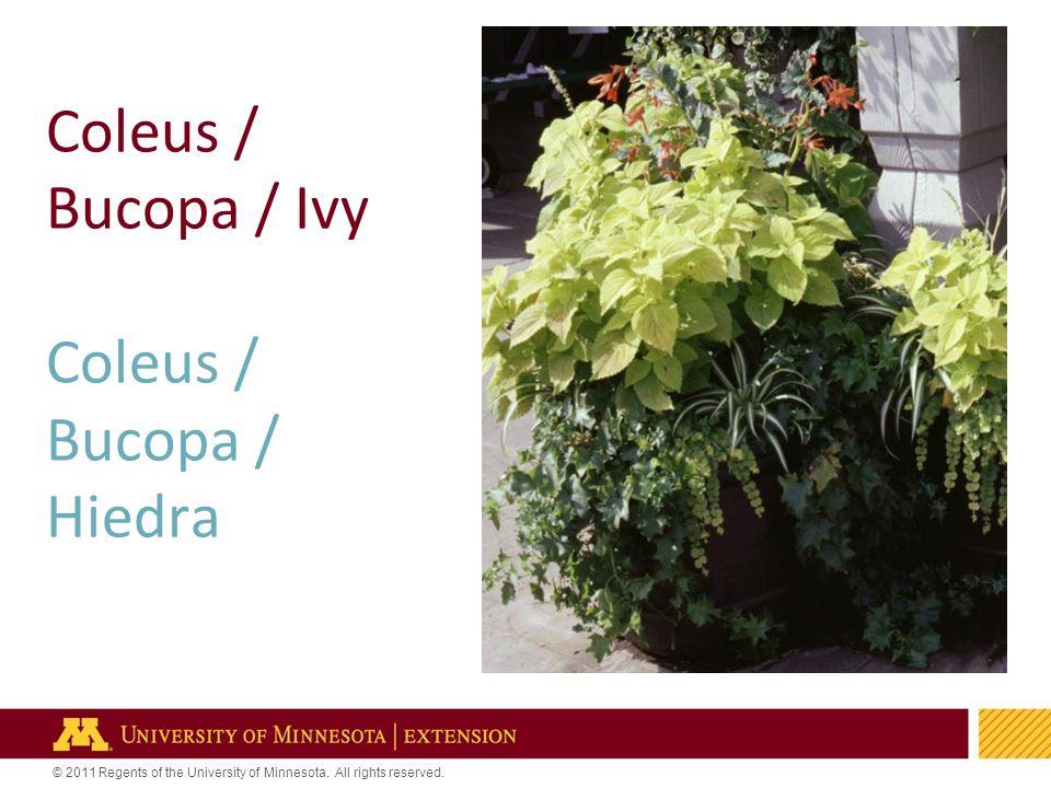 6 Coleus / Bucopa / Ivy Coleus / Bucopa / Hiedra