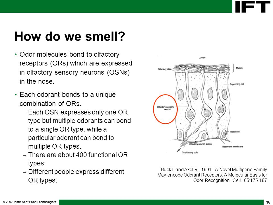 © 2007 Institute of Food Technologists 16 How do we smell? Odor molecules bond to olfactory receptors (ORs) which are expressed in olfactory sensory n