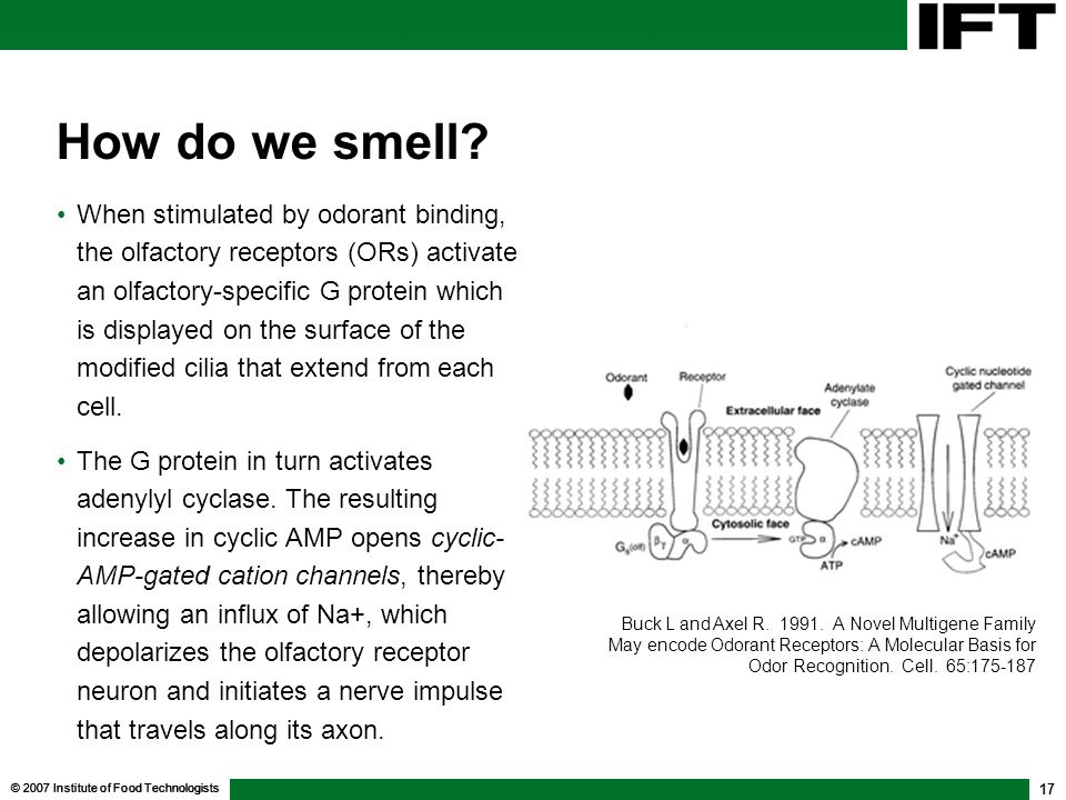 © 2007 Institute of Food Technologists 17 How do we smell? When stimulated by odorant binding, the olfactory receptors (ORs) activate an olfactory-spe