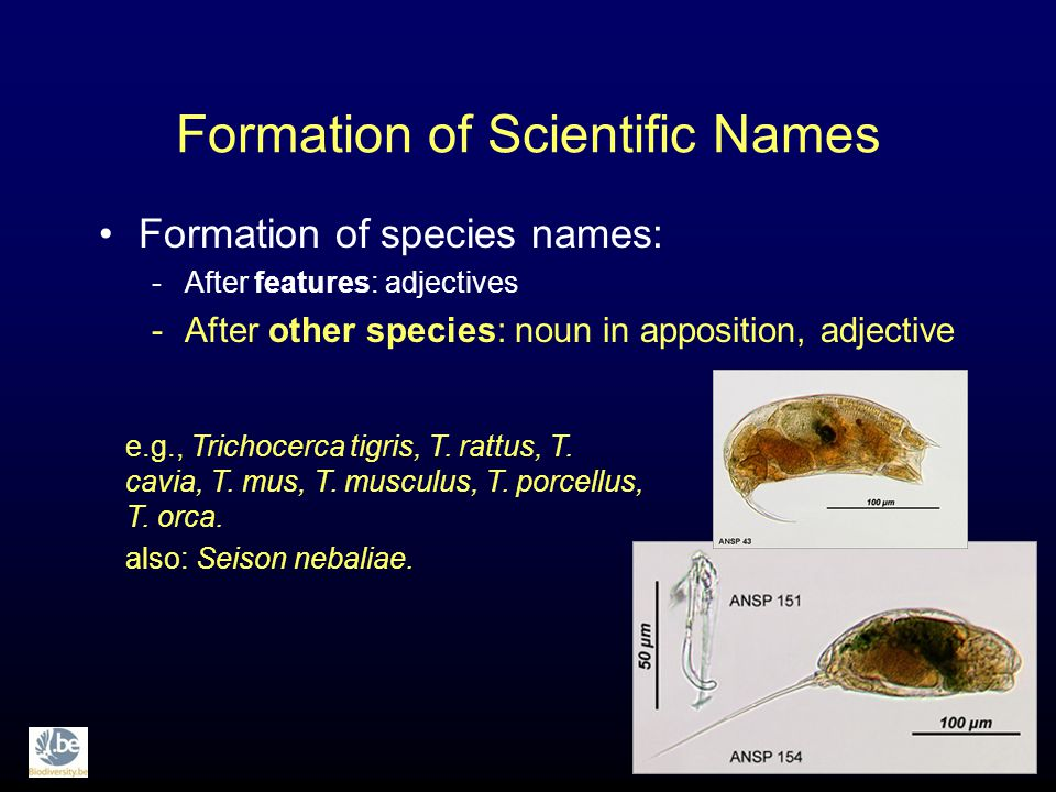 Formation of Scientific Names Formation of species names: -After features: adjectives -After other species: noun in apposition, adjective e.g., Trichocerca tigris, T.