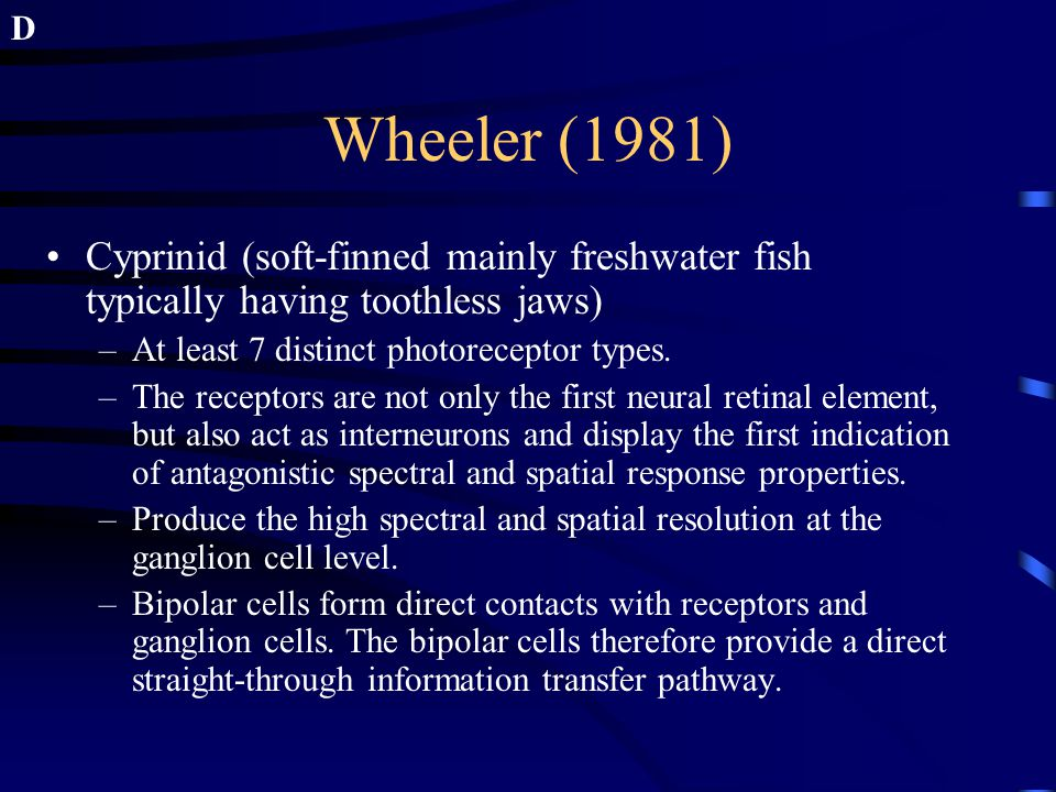 Wheeler (1981) Cyprinid (soft-finned mainly freshwater fish typically having toothless jaws) –At least 7 distinct photoreceptor types. –The receptors