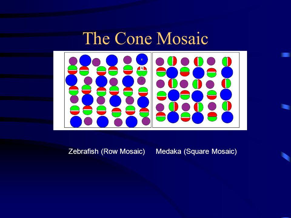 The Cone Mosaic Zebrafish (Row Mosaic)Medaka (Square Mosaic)