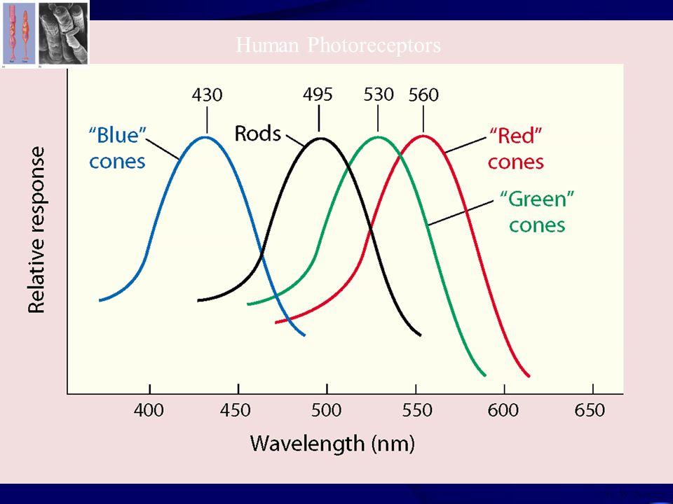 05-03 W. W. Norton Human Photoreceptors