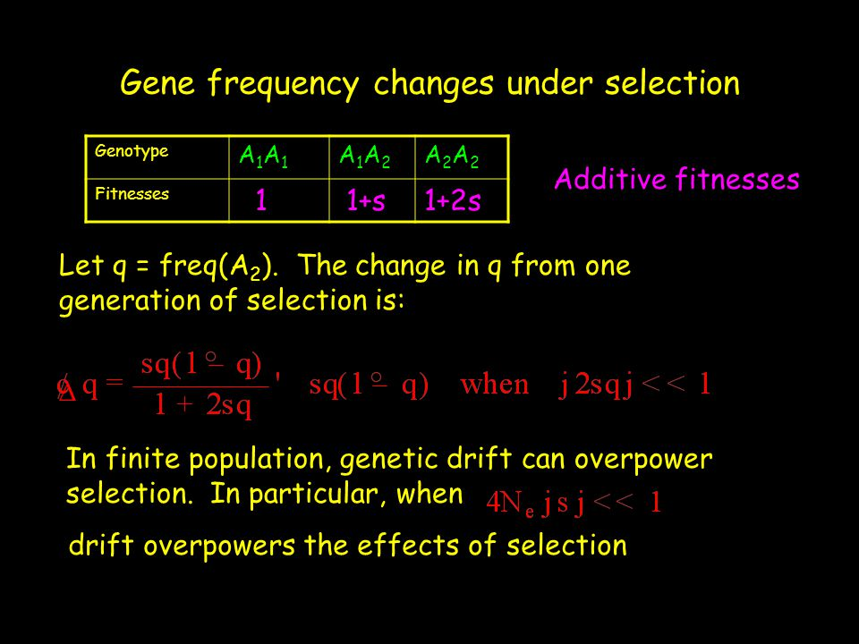 Gene frequency changes under selection Genotype A1A1A1A1 A1A2A1A2 A2A2A2A2 Fitnesses 1 1+s1+2s Additive fitnesses Let q = freq(A 2 ). The change in q