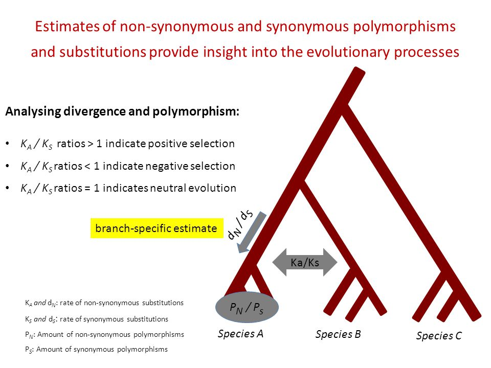 Species A Species B Species C d N / d S P N / P s Estimates of non-synonymous and synonymous polymorphisms and substitutions provide insight into the evolutionary processes Analysing divergence and polymorphism: K A / K S ratios > 1 indicate positive selection K A / K S ratios < 1 indicate negative selection K A / K S ratios = 1 indicates neutral evolution K A and d N : rate of non-synonymous substitutions K S and d S : rate of synonymous substitutions P N : Amount of non-synonymous polymorphisms P S : Amount of synonymous polymorphisms Ka/Ks branch-specific estimate