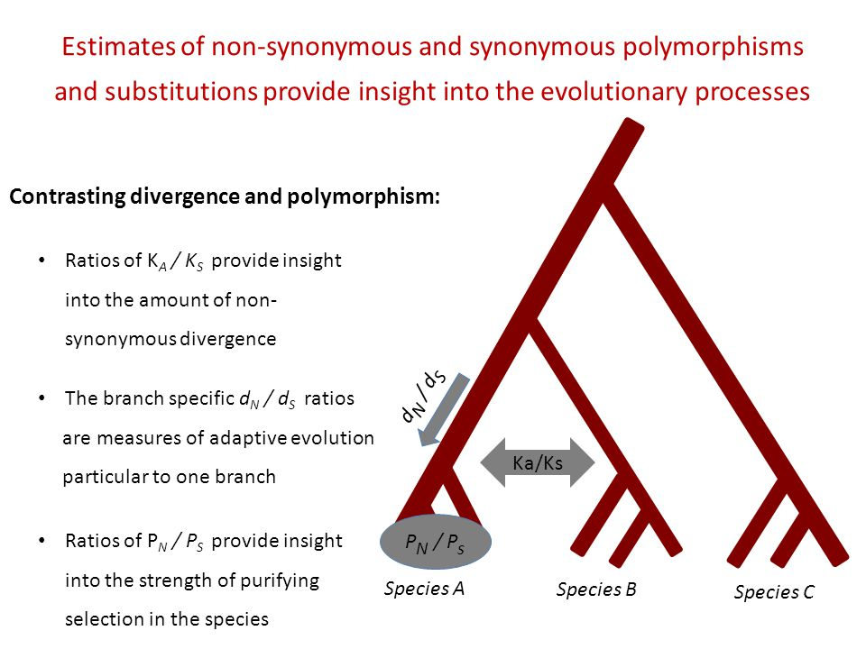 Species A Species B Species C d N / d S P N / P s Estimates of non-synonymous and synonymous polymorphisms and substitutions provide insight into the evolutionary processes Contrasting divergence and polymorphism: Ka/Ks The branch specific d N / d S ratios are measures of adaptive evolution particular to one branch Ratios of P N / P S provide insight into the strength of purifying selection in the species Ratios of K A / K S provide insight into the amount of non- synonymous divergence