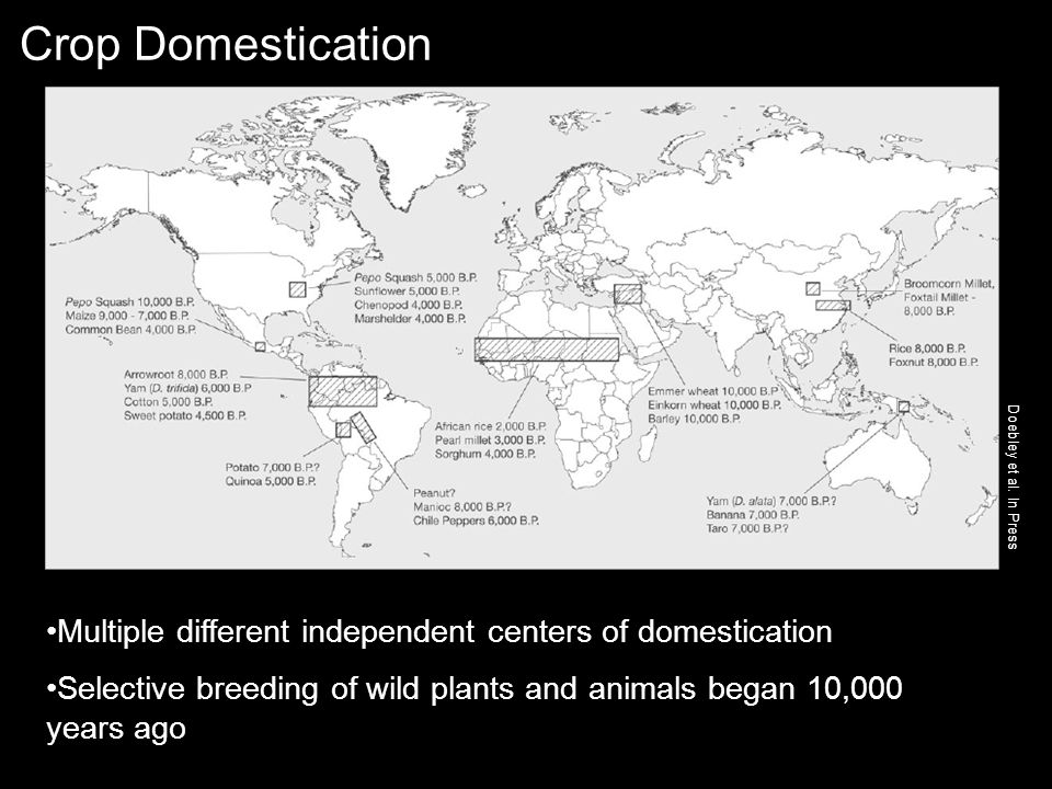 Crop Domestication Multiple different independent centers of domestication Selective breeding of wild plants and animals began 10,000 years ago Doebley et al.