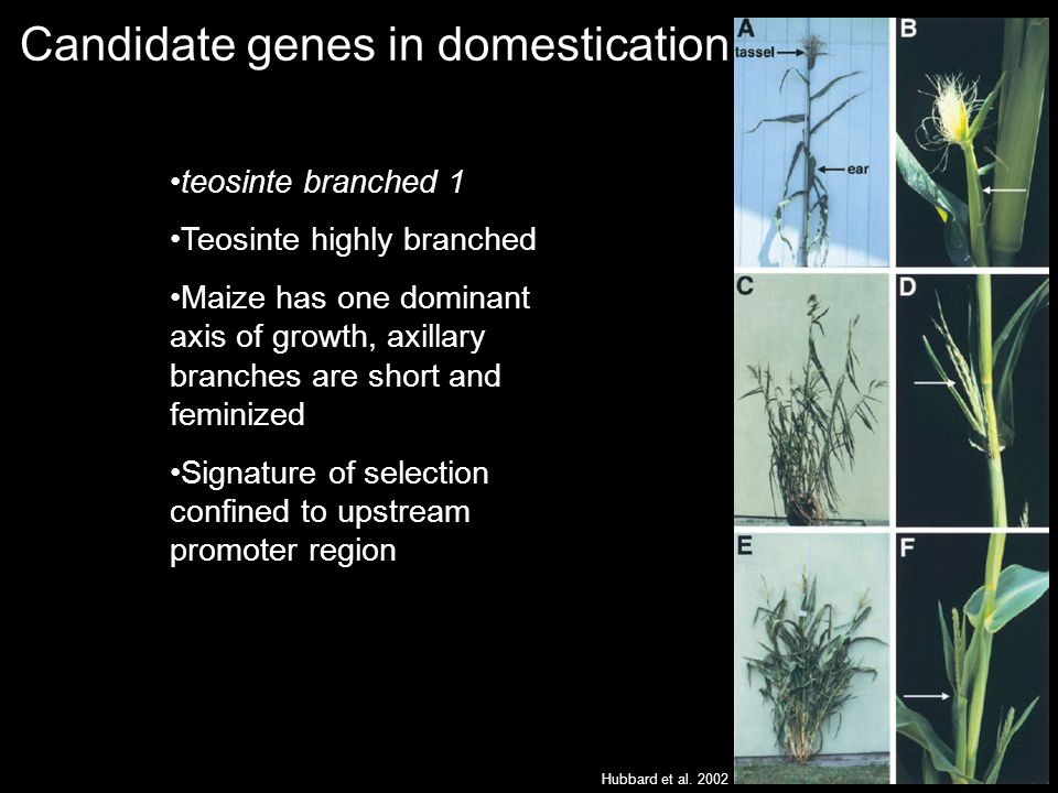 Candidate genes in domestication Hubbard et al.
