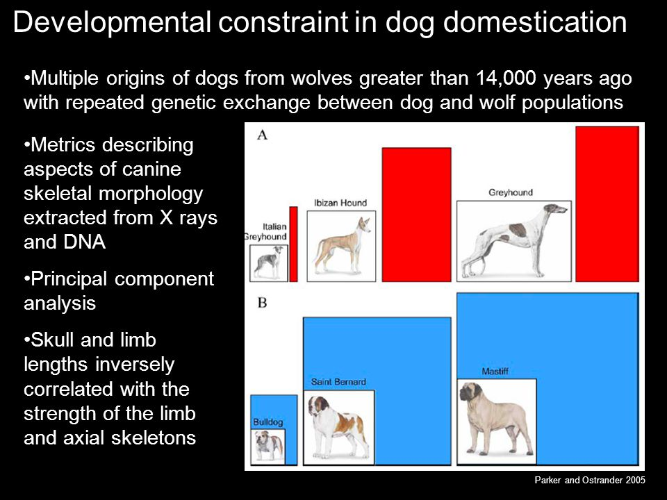 Developmental constraint in dog domestication Multiple origins of dogs from wolves greater than 14,000 years ago with repeated genetic exchange between dog and wolf populations Parker and Ostrander 2005 Metrics describing aspects of canine skeletal morphology extracted from X rays and DNA Principal component analysis Skull and limb lengths inversely correlated with the strength of the limb and axial skeletons