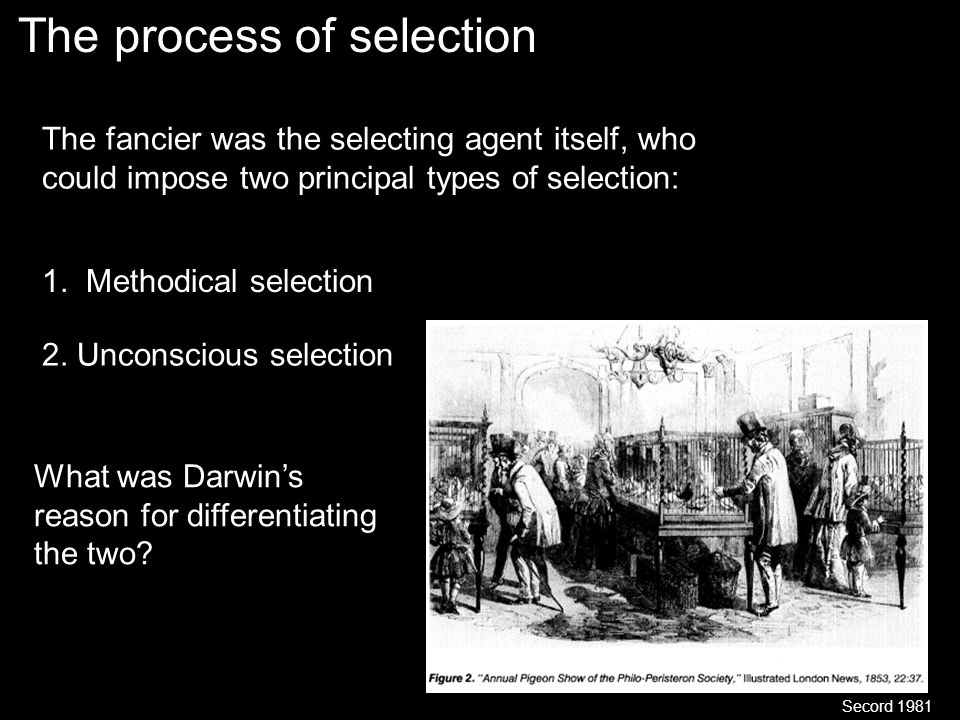 The process of selection Secord 1981 The fancier was the selecting agent itself, who could impose two principal types of selection: 1.