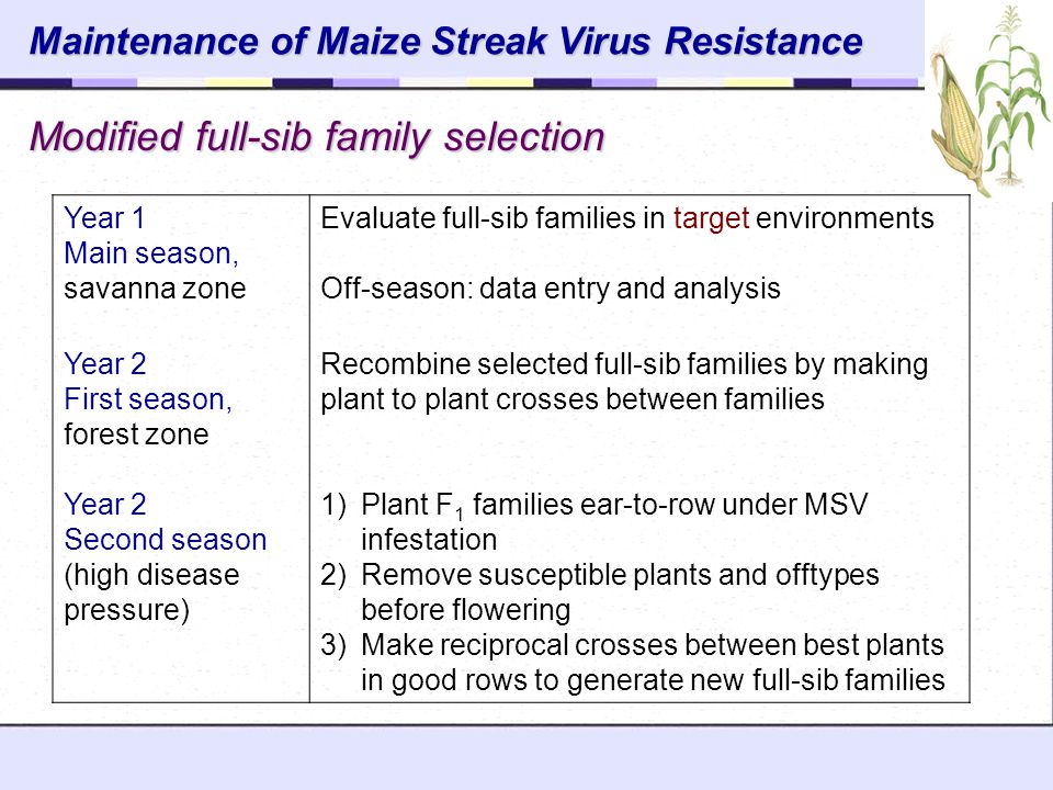 Modified full-sib family selection Maintenance of Maize Streak Virus Resistance Year 1 Main season, savanna zone Evaluate full-sib families in target environments Off-season: data entry and analysis Year 2 First season, forest zone Recombine selected full-sib families by making plant to plant crosses between families Year 2 Second season (high disease pressure) 1)Plant F 1 families ear-to-row under MSV infestation 2)Remove susceptible plants and offtypes before flowering 3)Make reciprocal crosses between best plants in good rows to generate new full-sib families