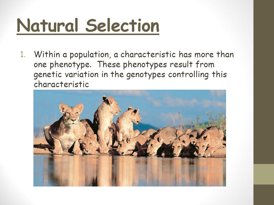 Natural Selection 1.Within a population, a characteristic has more than one phenotype. These phenotypes result from genetic variation in the genotypes