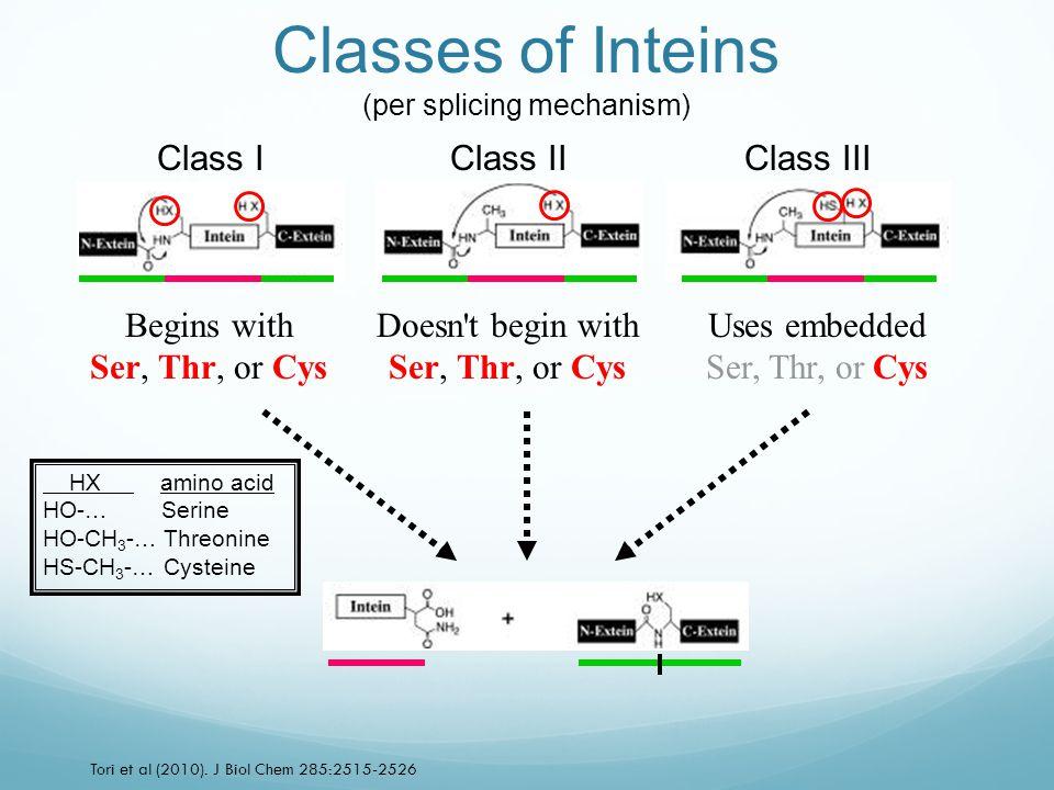 Class IClass IIClass III Tori et al (2010). J Biol Chem 285:2515-2526 Classes of Inteins (per splicing mechanism) Begins with Ser, Thr, or Cys Doesn't