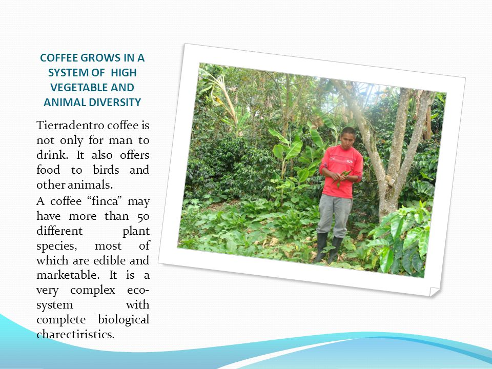 COFFEE GROWS IN A SYSTEM OF HIGH VEGETABLE AND ANIMAL DIVERSITY Tierradentro coffee is not only for man to drink.