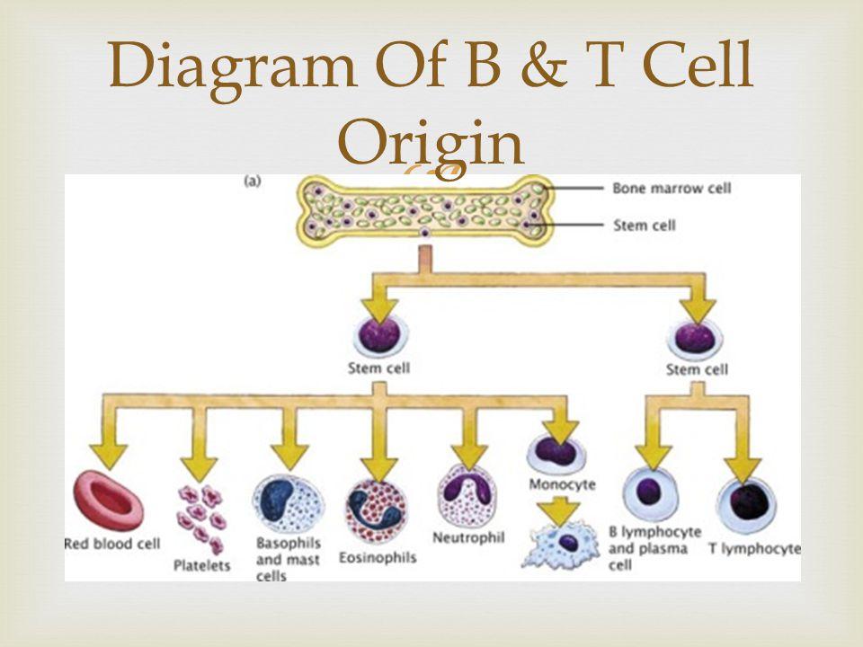  Diagram Of B & T Cell Origin