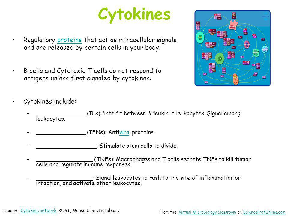 Cytokines Regulatory proteins that act as intracellular signalsproteins and are released by certain cells in your body. B cells and Cytotoxic T cells