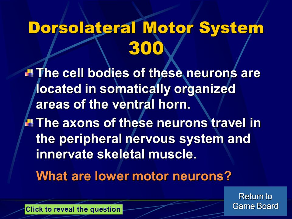 Dorsolateral Motor System 300 The cell bodies of these neurons are located in somatically organized areas of the ventral horn.