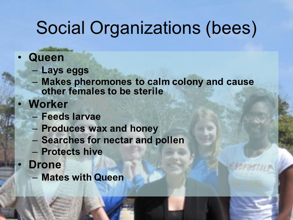 Social Organizations (bees) Queen –Lays eggs –Makes pheromones to calm colony and cause other females to be sterile Worker –Feeds larvae –Produces wax and honey –Searches for nectar and pollen –Protects hive Drone –Mates with Queen
