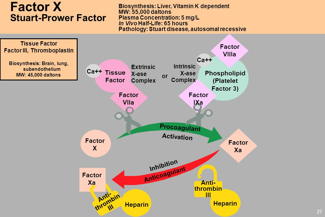 27 Factor X Stuart-Prower Factor Biosynthesis: Liver, Vitamin K dependent MW: 55,000 daltons Plasma Concentration: 5 mg/L In Vivo Half-Life: 65 hours