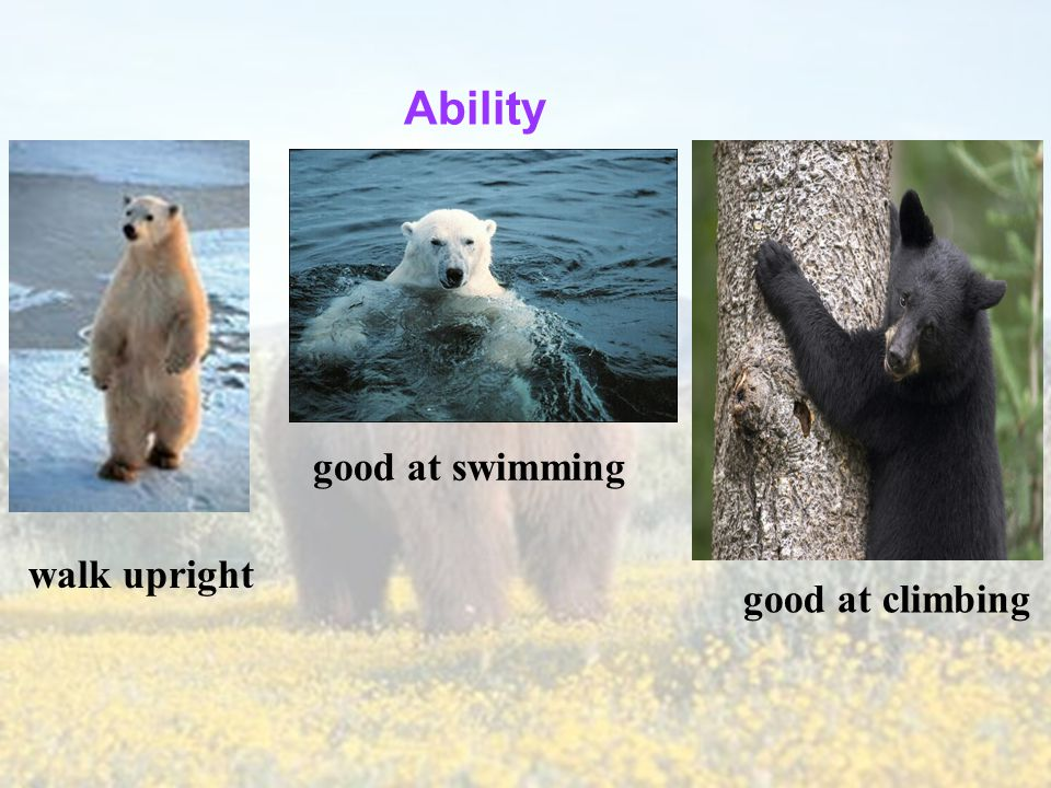 Information about bears Appearance big and strong small eyes black or brown.
