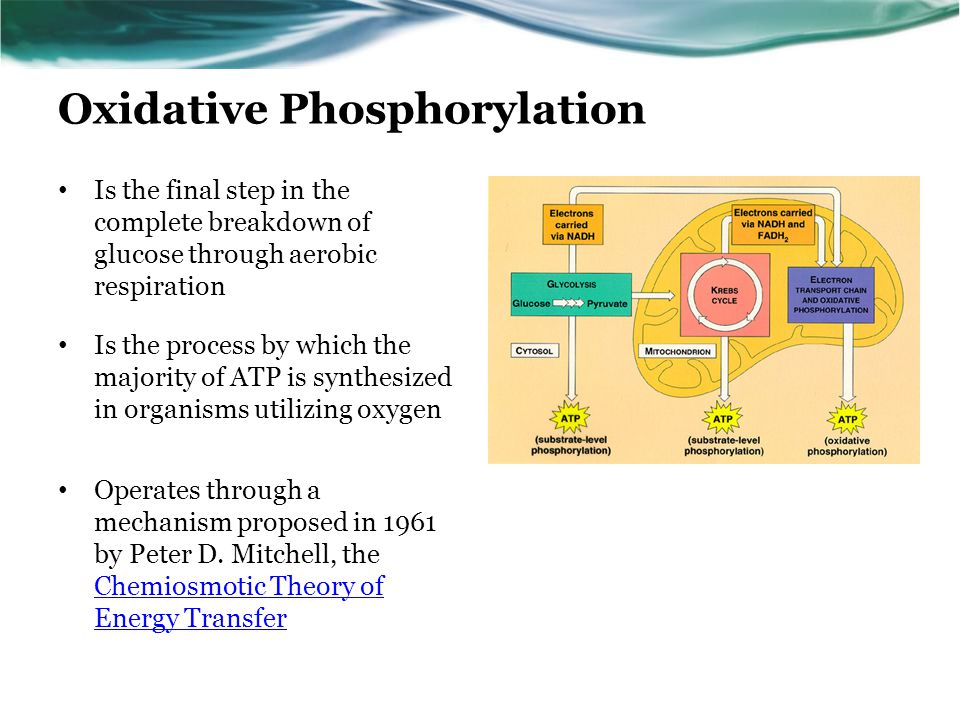 Oxidative Phosphorylation Is the final step in the complete breakdown of glucose through aerobic respiration Is the process by which the majority of ATP is synthesized in organisms utilizing oxygen Operates through a mechanism proposed in 1961 by Peter D.