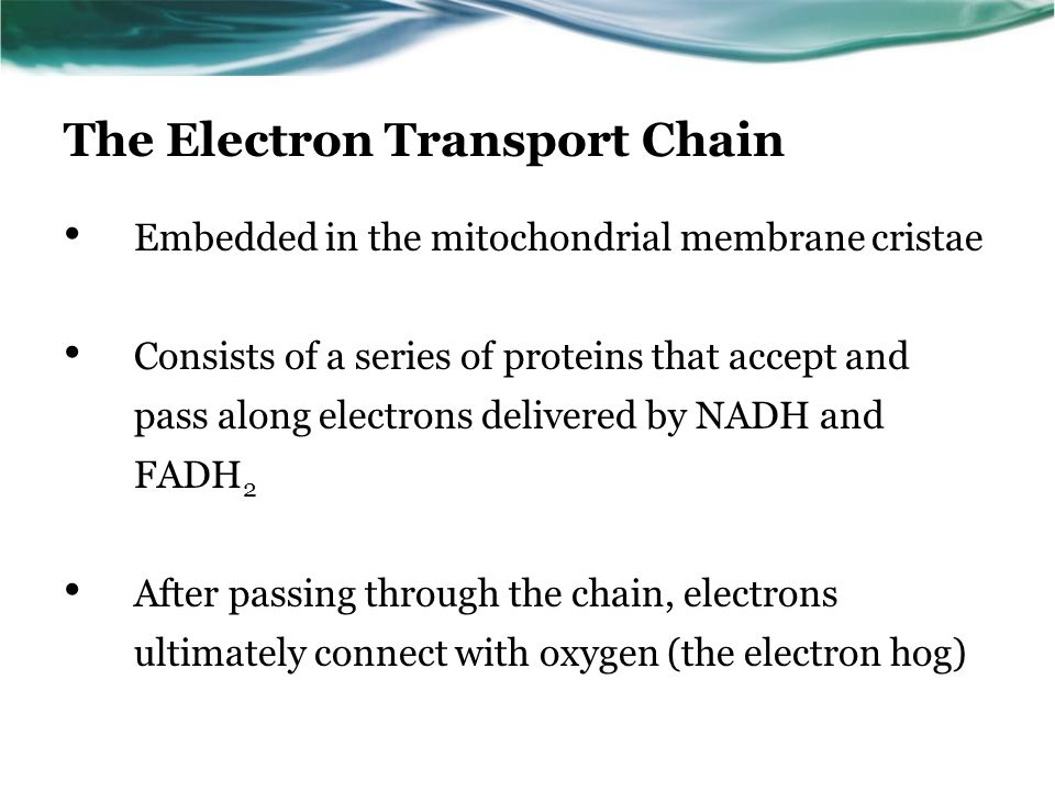 The Electron Transport Chain Embedded in the mitochondrial membrane cristae Consists of a series of proteins that accept and pass along electrons delivered by NADH and FADH 2 After passing through the chain, electrons ultimately connect with oxygen (the electron hog)
