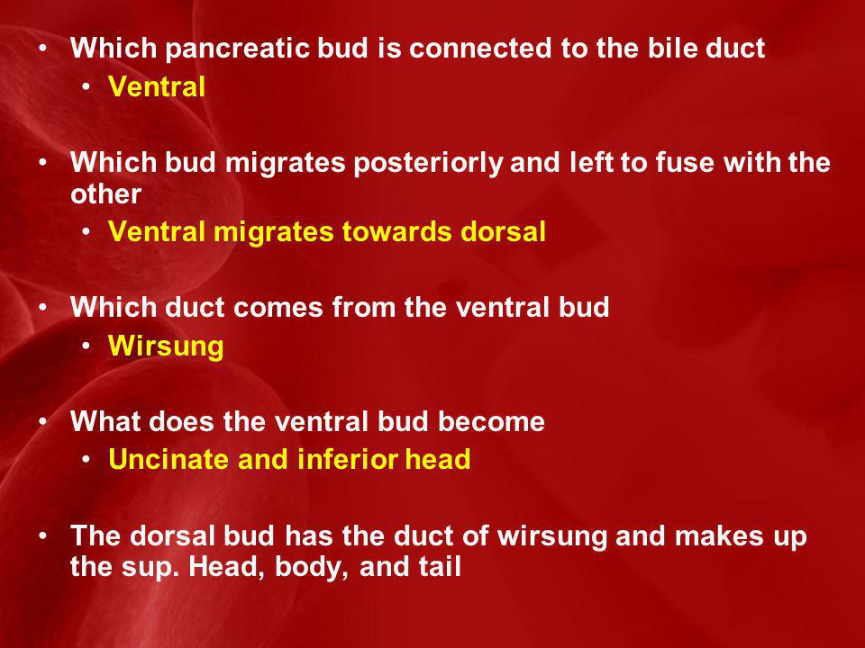 Which pancreatic bud is connected to the bile duct Ventral Which bud migrates posteriorly and left to fuse with the other Ventral migrates towards dorsal Which duct comes from the ventral bud Wirsung What does the ventral bud become Uncinate and inferior head The dorsal bud has the duct of wirsung and makes up the sup.