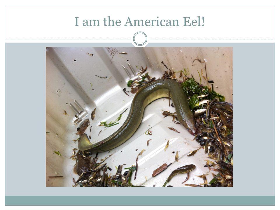 I am the American Eel!