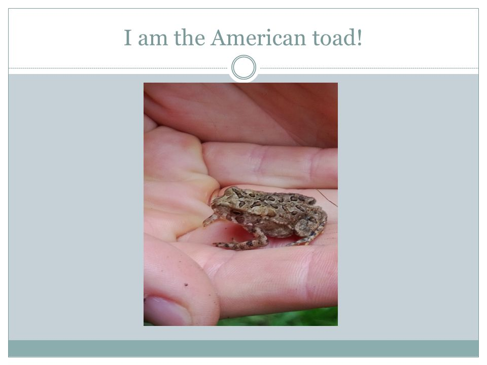 I am the American toad!