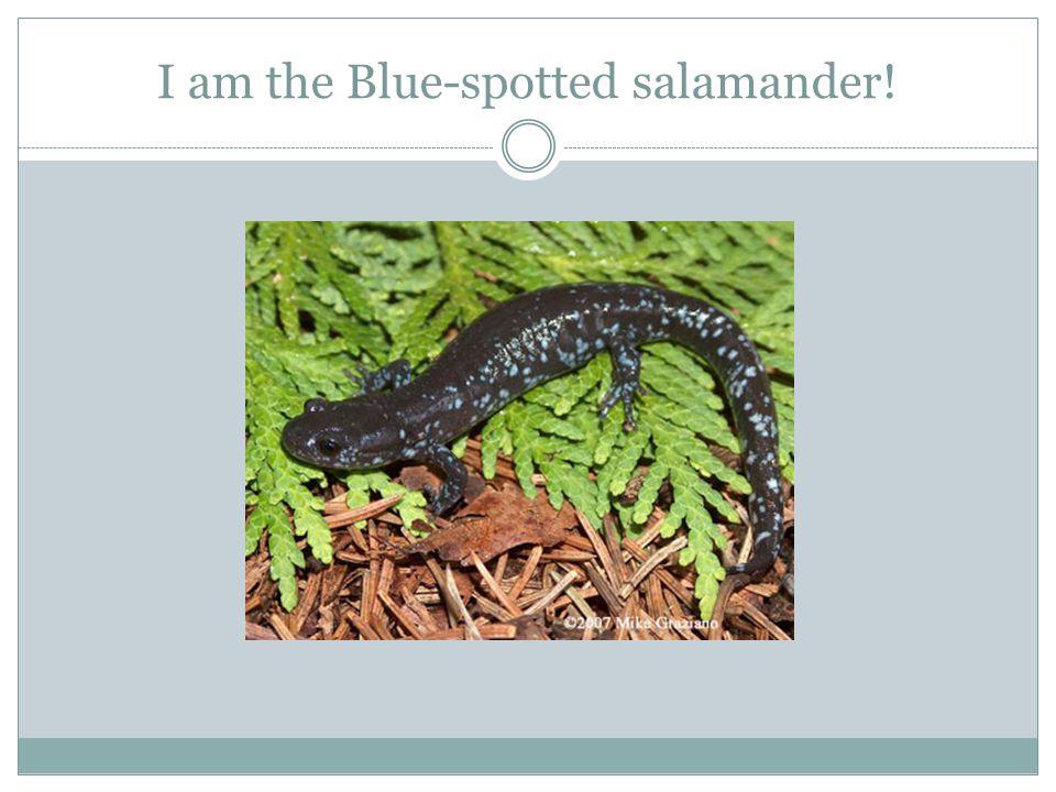 I am the Blue-spotted salamander!