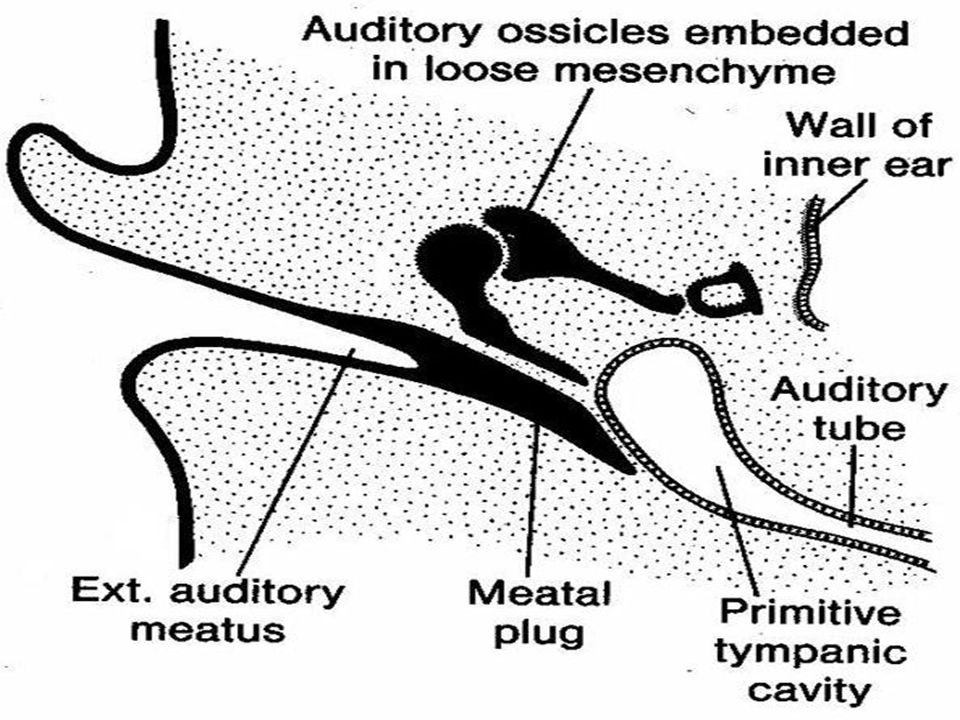 Functions 1.Ventilation & maintenance of atmospheric pressure in middle ear for normal hearing 2.