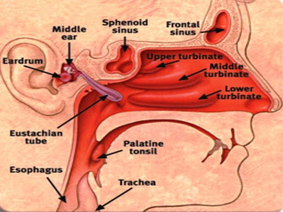 Luxury Anatomy Of Sinuses And Ears Vignette - Human Anatomy Images ...