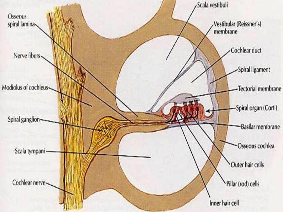 Ear Anatomy Tympanic Membrane Anatomy Of The Ear 52 Flashcar. Human ...