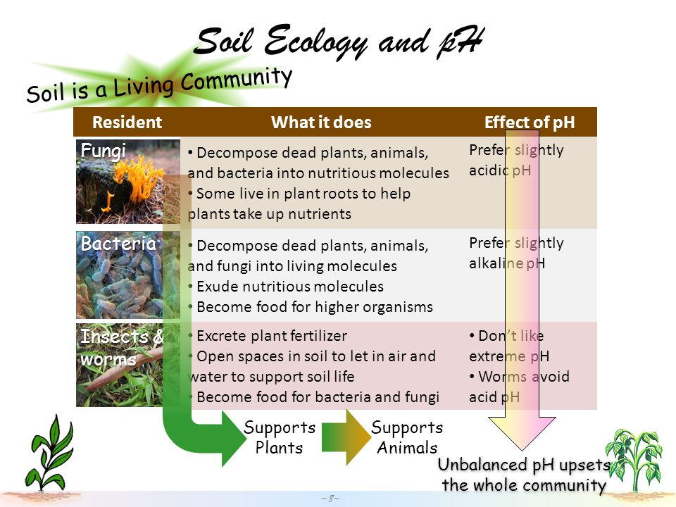 Soil is a Living Community Soil Ecology and pH ~8~ ResidentWhat it doesEffect of pHFungi Decompose dead plants, animals, and bacteria into nutritious molecules Some live in plant roots to help plants take up nutrients Prefer slightly acidic pH Bacteria Decompose dead plants, animals, and fungi into living molecules Exude nutritious molecules Become food for higher organisms Prefer slightly alkaline pH Insects & worms Excrete plant fertilizer Open spaces in soil to let in air and water to support soil life Become food for bacteria and fungi Don't like extreme pH Worms avoid acid pH Supports Plants Supports Animals Unbalanced pH upsets the whole community