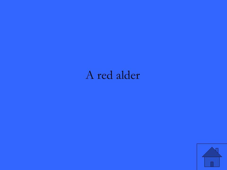 A red alder