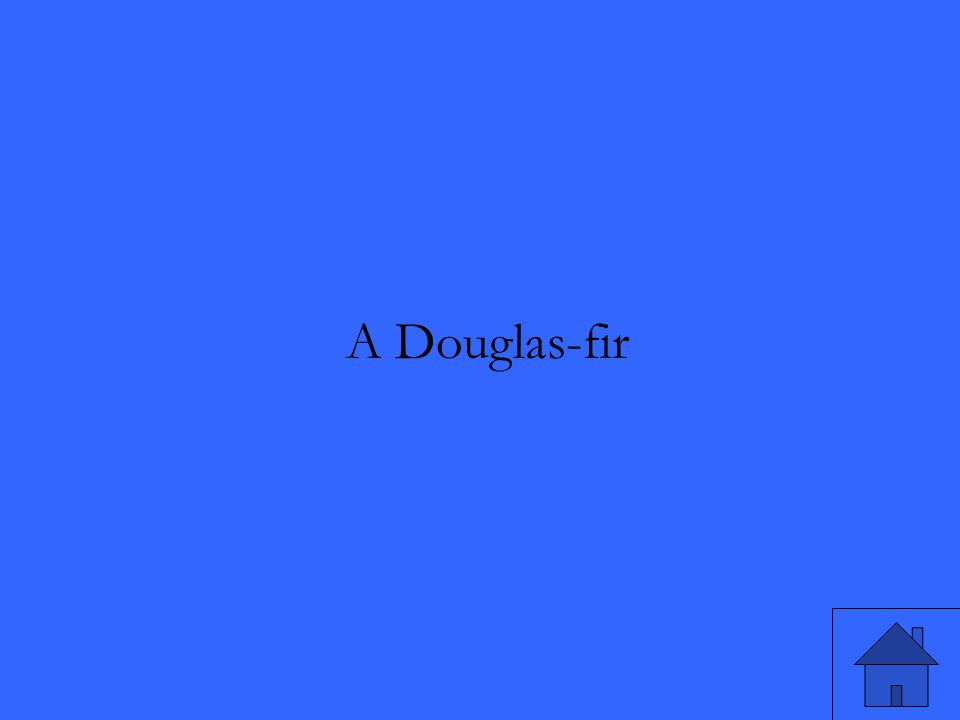 A Douglas-fir