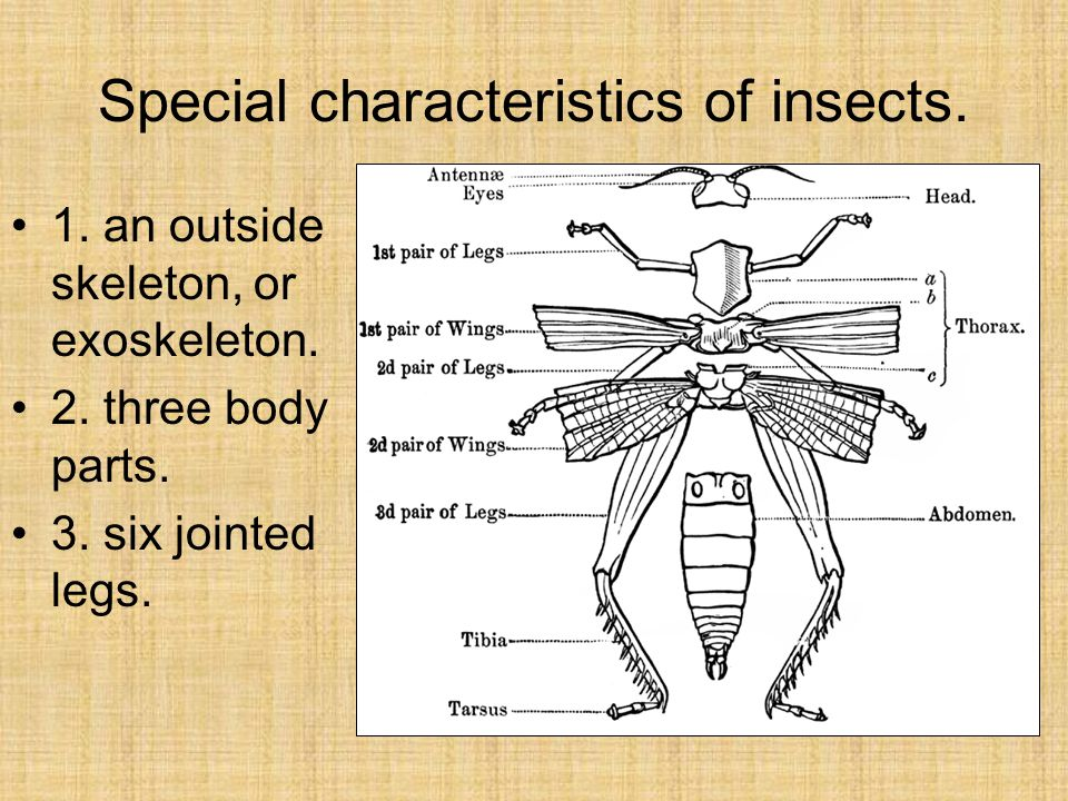 Special characteristics of insects. 1. an outside skeleton, or exoskeleton.