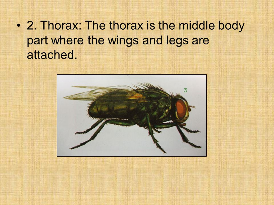2. Thorax: The thorax is the middle body part where the wings and legs are attached.