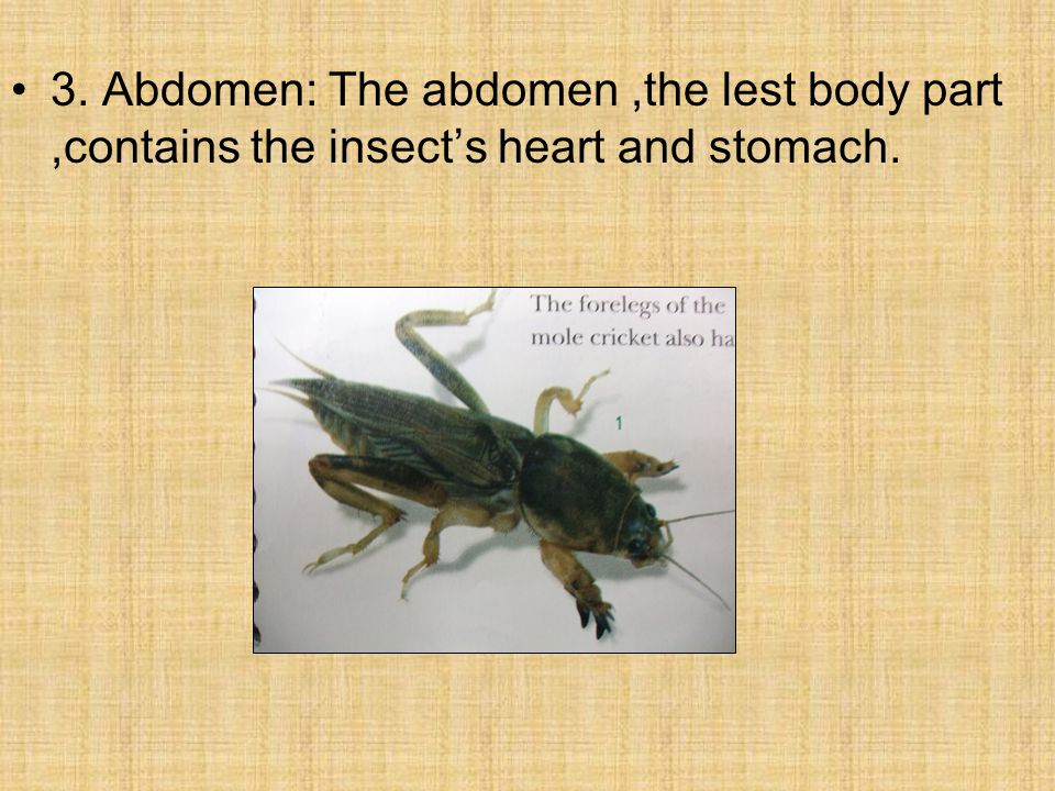 3. Abdomen: The abdomen,the lest body part,contains the insect's heart and stomach.