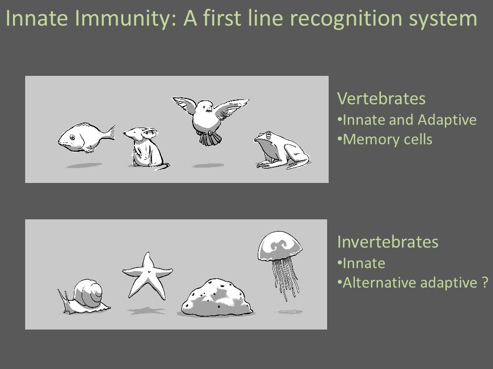 Innate Immunity: A first line recognition system Vertebrates Innate and Adaptive Memory cells Invertebrates Innate Alternative adaptive